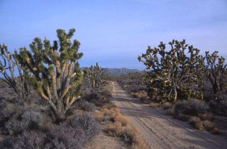Joshua trees (Medium)
