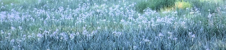 There is a measow with a field of Irises still in bloom.