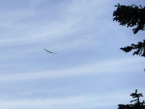 A glider from Valyermo soaring overhead