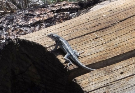 There were many lizards out for sunning