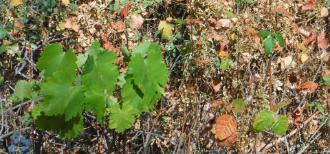 Grape leaves and poison oak