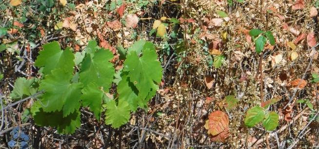 Grape leaves and poison oak