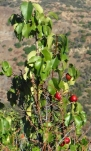 Holly leaf cherry