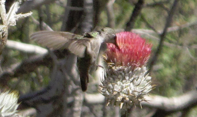 piru creek humming bird 4
