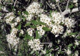 Toyan bush in flower