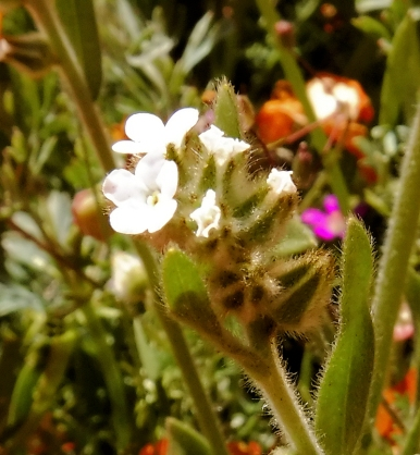 I think this is Cryptantha.