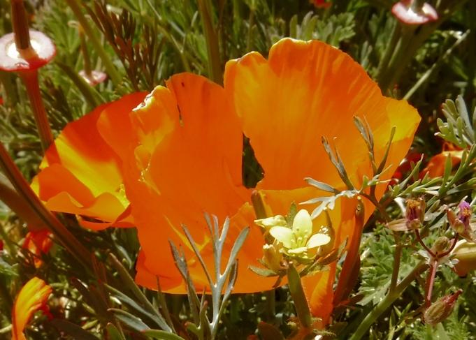 Slender Tropidocarpum and a big poppy