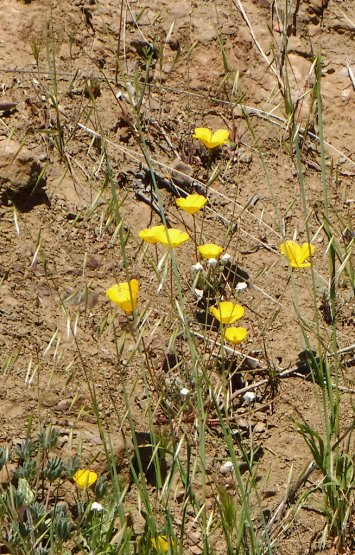 Desert Poppies