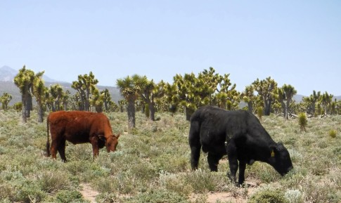 Cattle browse among the Joshua trees.