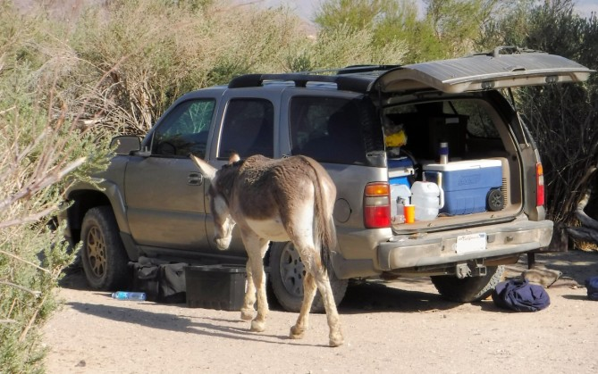 We made camp and were immediately visited by burros.