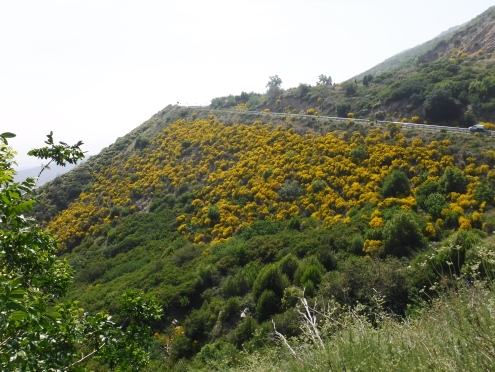 Broad swaths of the hillside are a bright yellow from Spanish broom.