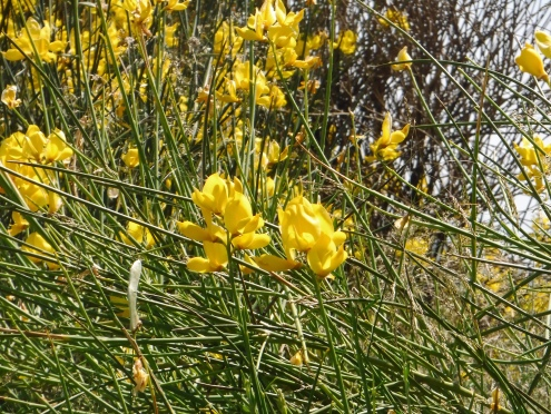 Closeup of the Spanish broom flower..