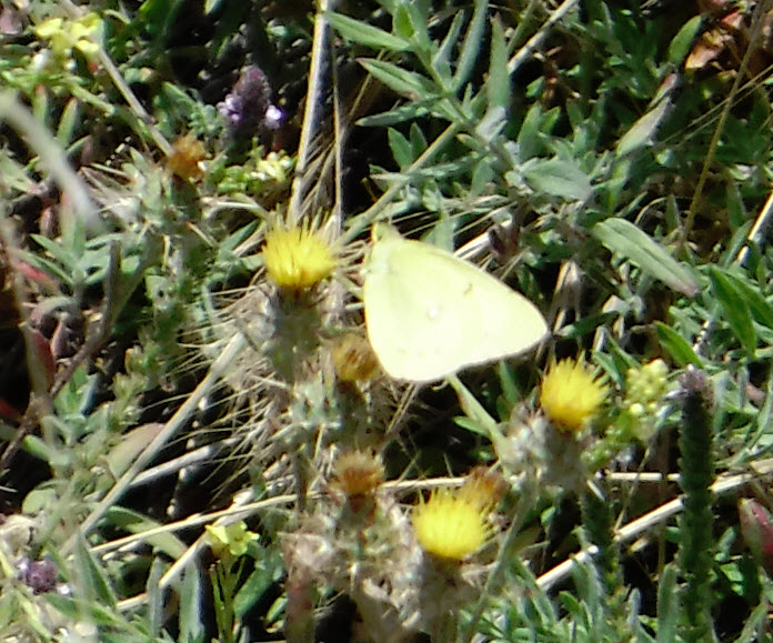 There were bees and butterflies everywhere. Catching a photo of this Sulphur Butterfly was really difficult!