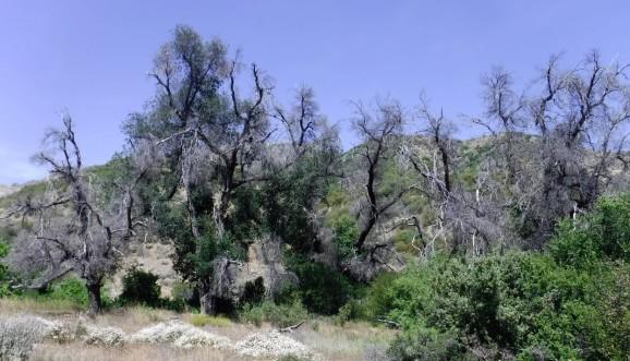 Dying oaks.